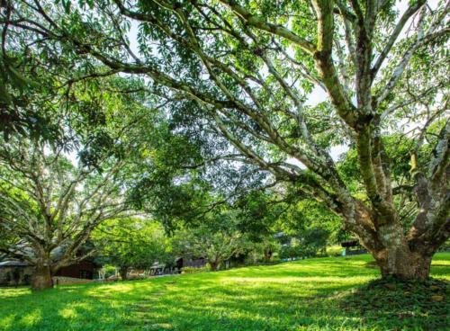 Mango Trees (1280x943)